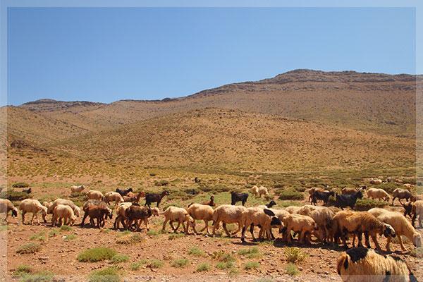 イランの高地で放牧されている羊たち