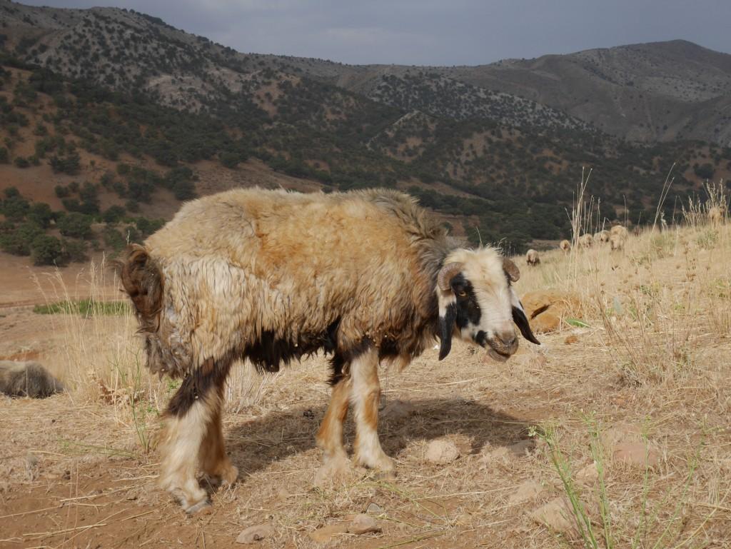 羊の毛そのまんまのじゅうたん!