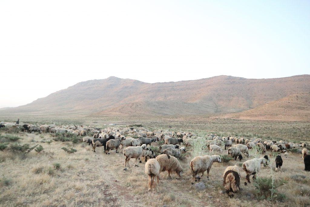 カシュガイ族が放牧する羊の群れ